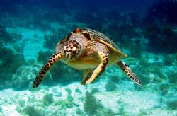 This turtle was spotted April 2006 in Isla Mujeres. He lo... by Bonnie Conley