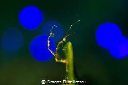 Skeleton shrimps in disco light. by Dragos Dumitrescu