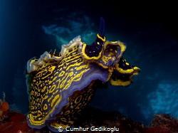 Hypselodoris picta RISING STAR by Cumhur Gedikoglu
