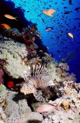"""Lion Fish at """"the wall"""" in Shark Reef, Ras Mohammed Natio... by Erich Reboucas"""