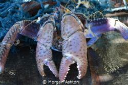 Coconut Crab on Defense by Morgan Ashton