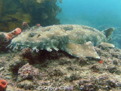 Wobbegong Shark Fly Point Port Stevens NSW Australia by Debra Cahill
