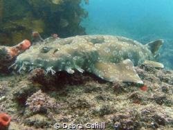 Wobbegong Shark Fly Point Port Stevens NSW Australia by Debra Cahill