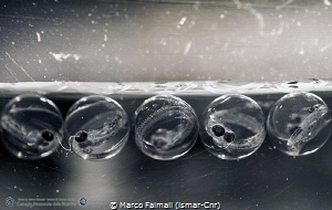 Floating eggs of Silverfish (Pleuragramma antarctica) und... by Marco Faimali (ismar-Cnr)
