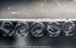 Floating eggs of Silverfish (Pleuragramma antarctica) und... by Marco Faimali (ismar-Cnr)