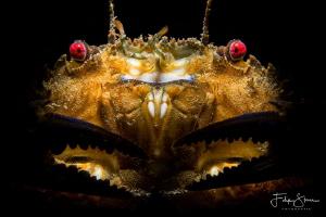 Velvet crab, Oosterschelde, The Netherlands. by Filip Staes