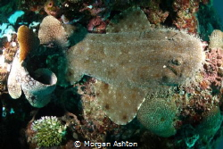 Wobbegong Wedged in Coral by Morgan Ashton
