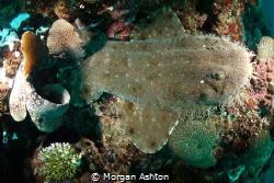 Wobbegong Wedged in Coral by Morgan Ashton