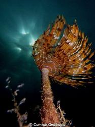 Bispira volutacornis SUNBEAM by Cumhur Gedikoglu