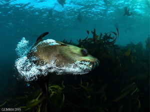 A Cape Fur Seal having a good old bark and blowing some b... by Gemma Dry