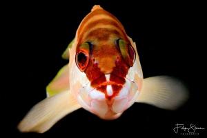 portret of a Blacktip grouper by Filip Staes