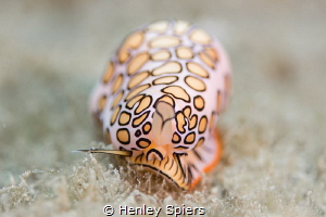 Flamingo Tongue by Henley Spiers