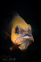 Cardinal fish with eggs-Anilao by Richard Goluch