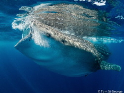 A majestic whale shark feeding on plankton off the coast ... by Tom St George