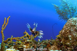 Lionfish by Emily Melvin