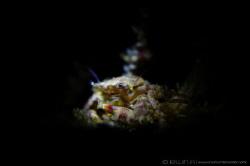 S N O O T #1 Porcelain crab (Porcellanidae) Anilao, P... by Irwin Ang