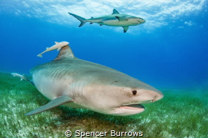 2 shark species 1 shot! by Spencer Burrows
