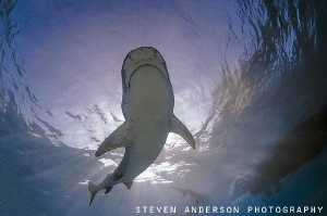 The sun shining, Tiger Sharks make for a perfect day to d... by Steven Anderson