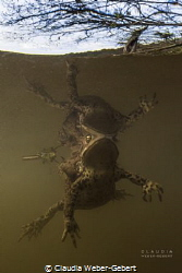 perfect reflection ...  mating toads by Claudia Weber-Gebert