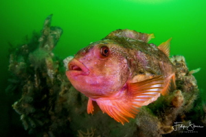 A male Lumpsucker in mating time. Oosterschelde, Zeeland,... by Filip Staes