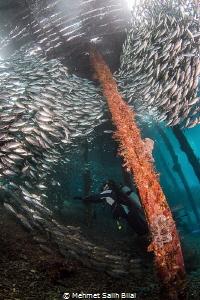 Playing with silverside shoal under Arborek pier. by Mehmet Salih Bilal