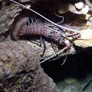 Pacific Spiny Lobster in cave  by Martin Dalsaso