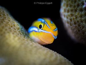 Fang Blenny... Hey there! by Philippe Eggert