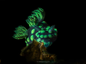 Nembrotha with a bit of light... by Philippe Eggert