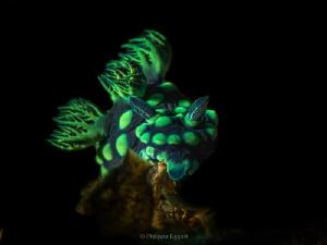 Nembrotha with a bit of light... by Philippe Eggert