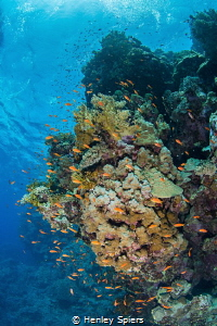Red Sea Reef Scene by Henley Spiers