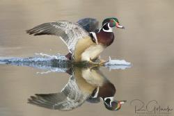 Wood Duck drake landing. by Richard Goluch