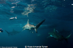 Black tip sharks in Aliwal Shoal by Rosa Amanda Tuiran