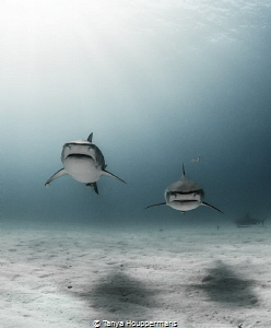Twins Two tiger sharks swim toward camera while bull shark hovers background righthand side right-hand right hand