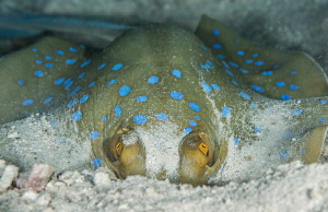I'm watching you ...Blue Spotted Ray, Red Sea, Egypt by Spencer Burrows