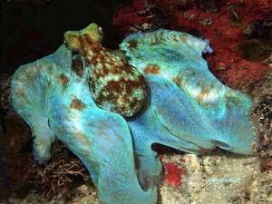 Octopus at night in Utila, Bay Islands, Honduras by Marylin Batt