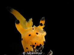 Thecacera sp.