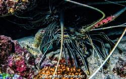 Lobster by Carsten Schroeder