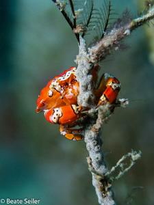 Little crab by Beate Seiler