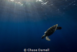 """""""Dawn Dive"""" A Hawksbill Turtle taking a dive in the earl... by Chase Darnell"""
