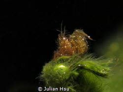 Algae Shrimp