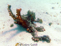 Common Sydney Octopus South Maroubra Beach NSW Australia by Debra Cahill