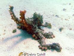 Common Sydney Octopus South Maroubra Beach NSW Australia by Debra Cahill