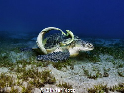 Green Turtle with Remoras by Olivier Notz
