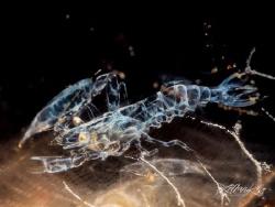 X - R A Y  Ghost shrimp in tunicate (Dactylonia sp) by Lilian Koh