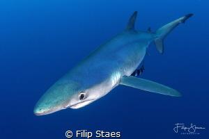 Blue shark by Filip Staes