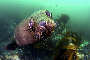 Curious Cape fur seal, Patridge point,False bay, South Af... by Filip Staes