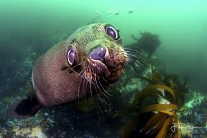 Curious Cape fur seal, Patridge point,False bay, South Af... by Filip Staes