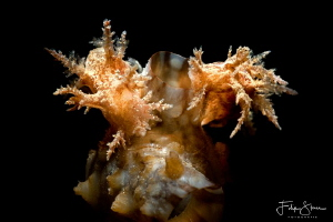 """""""Twins!"""" A couple of frond eolis or bushy backed nudibran... by Filip Staes"""