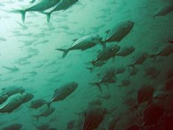 Shoal of trevallies hunting close to Phi Phi island by Gordana Zdjelar