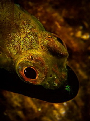 black lip blenny by Mark Reilly
